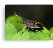 Stink Bug Canvas Print
