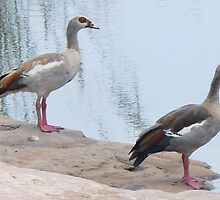 Egyptian Geese At The Water Hole by AARDVARK