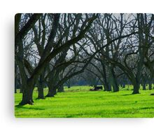 Cows Amongst the Pecan Trees Canvas Print