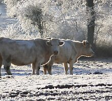 Cows in the cold by Peter Mason