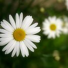 Daisy, Daisy give me your answer do! by Classicperfection