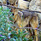 Lurking Coyote by mommarazzi