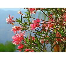 Oleander the poisonous Photographic Print