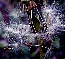Dandelion by mikeloughlin