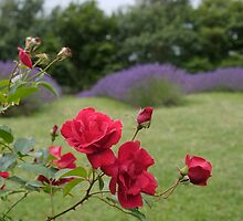 Roses with Lavender by Barry Culling