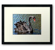 Black Beauty! - Black Swan - NZ - Southland Framed Print