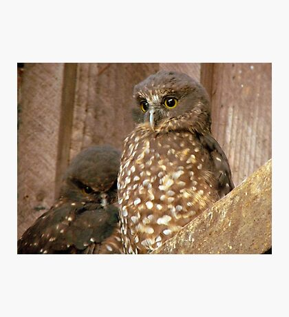 Excuse Me... Day Time Is Night Time Here... - Morepork Owl - NZ Photographic Print