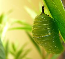 Morphed into a Chrysalis! - Monarch Chrysalis - NZ by AndreaEL