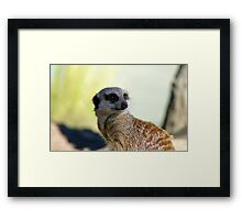 Am I A Mere Cat? I Don't Think So!  - Meerkat - Orana Park - Christchurch  Framed Print