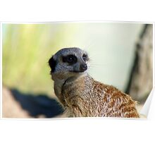 Am I A Mere Cat? I Don't Think So!  - Meerkat - Orana Park - Christchurch  Poster