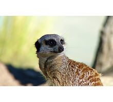 Am I A Mere Cat? I Don't Think So!  - Meerkat - Orana Park - Christchurch  Photographic Print