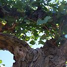 Vine Ripened by Sarah Mosbey