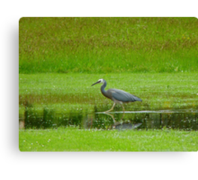 I'm Saving The Drowning Worms!! - White-faced Heron - NZ Canvas Print