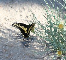 Desert Swallowtail, Mojave Preserve by Chris Clarke