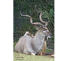 Greater Kudu Photographic Print
