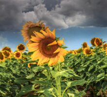 Sunflowers and Storms Darling Downs Qld Australia Sticker