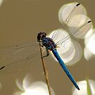 Sparkling dragonfly by Sharon Bishop
