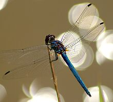 Sparkling dragonfly by Sharon Bishop