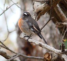 Blending In...Female Scarlet Robin by Coralie Plozza