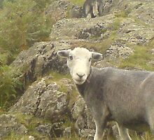 mini sheep at wosdale by falconwings