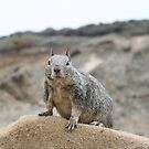 California ground squirrel by Chris Clarke