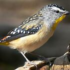 Spotted Pardalote by Ern Mainka