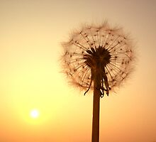 Evening Dandilion by Chris Wood