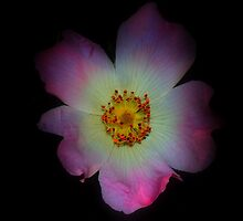 Dog Rose  by larry flewers