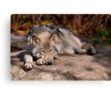 Timber Wolf At Rest Canvas Print