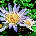 Water Lilly's by Deborah V Townsend