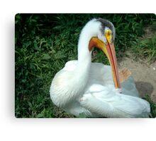 Pelican closeup Canvas Print