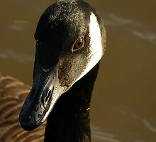 Mother Canadian Goose by Justin020