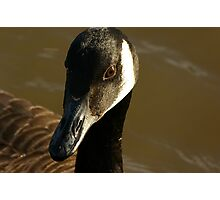 Mother Canadian Goose Photographic Print