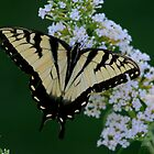 Swallowtail by DarlaReeves