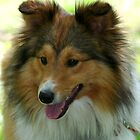 Sheltie by DarlaReeves