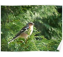 A Male Chaffinch perched in a green conifer tree enjoying some Sunshine Poster