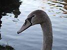 Young Swan 2 by Matt Roberts