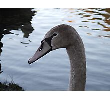 Young Swan 2 Photographic Print