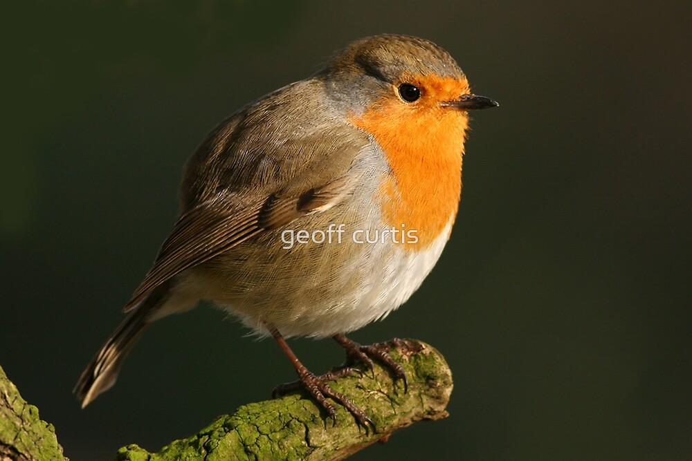 Robin by geoff curtis