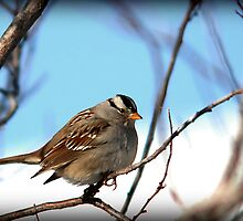 White Crowned Sparrow - Winter Blue Skies by Ryan Houston