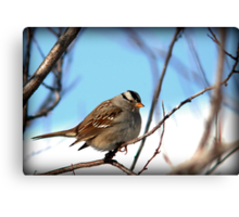 White Crowned Sparrow - Winter Blue Skies Canvas Print