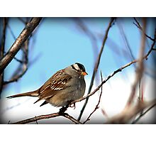 White Crowned Sparrow - Winter Blue Skies Photographic Print