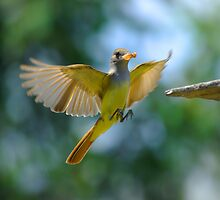 Weids Crested Flycatcher Landing by Michael Wolf