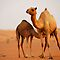 Camel in Dubai desert, UAE by Shannon Plummer