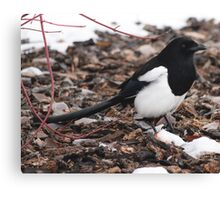 Magpie's Winter Forage Canvas Print