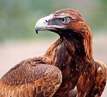 Eagle by Sebastian J. de Koning
