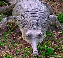 Alligator by Efi Keren