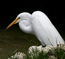 Snowy Egret by Rock Mollica