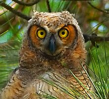 Great Horned Owl Chick Close-up by Michael Wolf