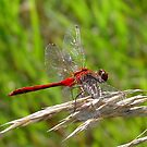 Red Dragon by Anne Smyth